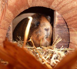 meerschweinchen-im-neuen-zuhause